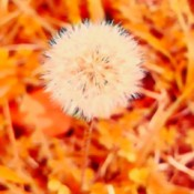 A dandelion seed head outside.