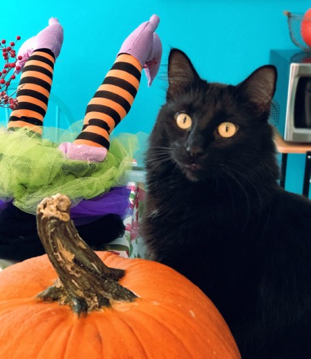 T. Higgins (Long Haired Domestic Cat) - black cat next to Halloween pumpkin