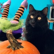 T. Higgins (Long Haired Domestic Cat) - black cat next to Halloween pumpkin