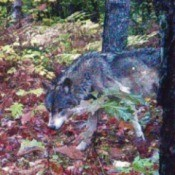 A timber wolf in the woods in Michigan.
