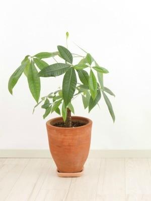 Money Tree (Pachira aquatica) in a pot on a wood floor
