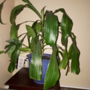 Identifying a Houseplant - plant with main stalk and long drooping green leaves