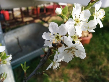 White apple blossoms in a yard.