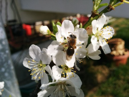 A bee on apple blossoms.