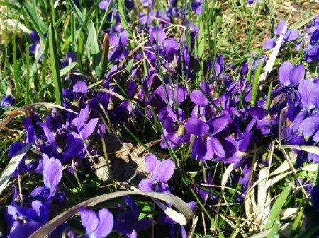 Purple violets blooming in a yard.