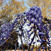 Blooming Wisteria - purple wisteria blooms
