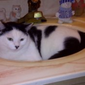 Panda Bear (Domestic Cat) - black and white cat curled up in the bathroom sink