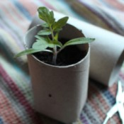 Toilet Paper Tubes for Seedlings - small plant in TP tube pot