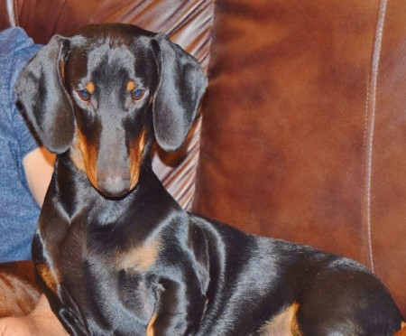Junior (Standard Dachshund) - black and tan Dachshund