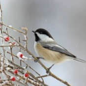 Chickadee on a branch on snowy day