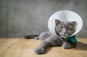 Gray cat with a cone around its neck.