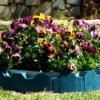 Mile High Pansies - pansies in circular bed