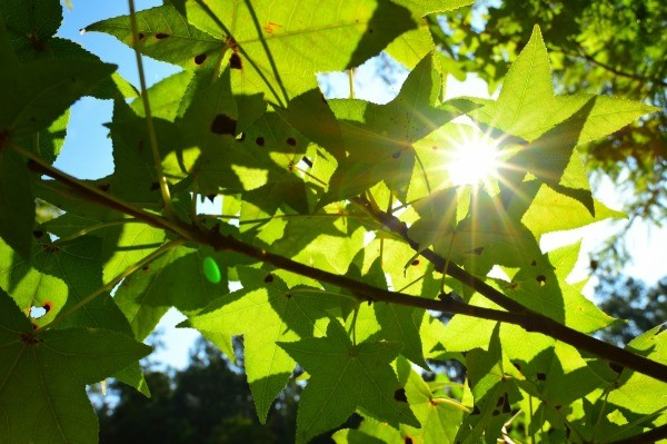 Fabulous Growing a Sweetgum Tree | ThriftyFun VT69