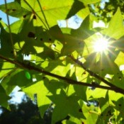 Sweet Gum Tree with sun shining through leaves