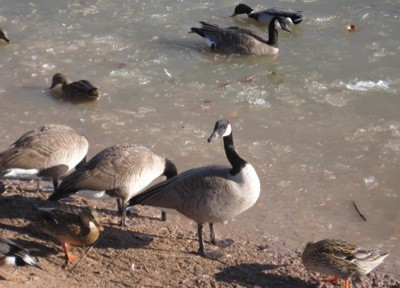 Canadian Geese on a shore and in the water.