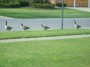A row of Canadian geese walking down the street.