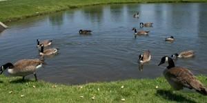 Wildlife: Canadian Geese