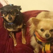 Chubs & Mochi (Chihuahua Mix) - Chubs with glasses and Mochi next to him wearing a scarf