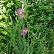 Identifying a Garden Flower - tall stalk with white and dark pink edged flowers blooming up the height of the stem