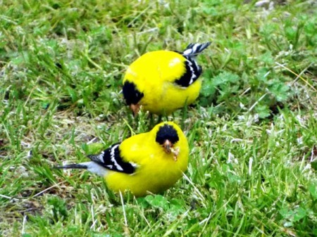 Goldfinches Feasting On Poa Seed - two make goldfinches eating grass seed