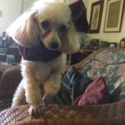 Jazz (Toy Poodle) - white Poodle wearing a scarf standing on a rattan couch