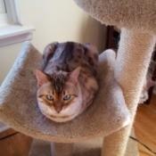 Shu (Snow Bengal) - cat on cat tree