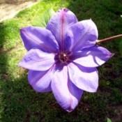 Clematis 'Elsa Spath' - light purple clematis bloom