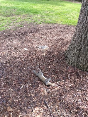 Several Dead Squirrels Found in Yard - dead grey squirrel