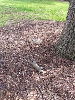 Several Dead Squirrels Found in Yard - dead grey squirrel