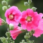 Closeup of a pink Hollyhock.