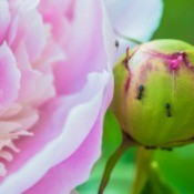 Ants on Peony Blossoms.