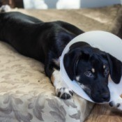 Dog laying on a bed with a cone on its head.