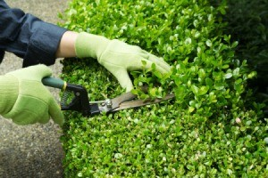 Gloved hands pruning a shrub.