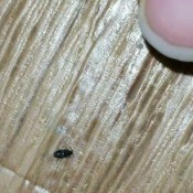 Identifying a Household Bug - tiny bug
