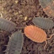 Determining the Gender of My Sow Bug? - an orange sow bug with gray ones