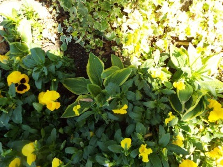 Yellow In My Garden - yellow flowers including pansies