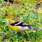 The Beautiful Female Goldfinch - female in the grass