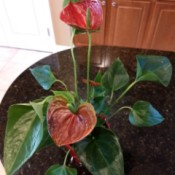 Identifying a Houseplant - plant with red leaf looking flower