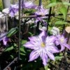 'Crystal Palace' Clematis - pretty light purple blooms