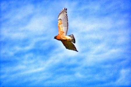 A hawk flying against a blue sky with white clouds.