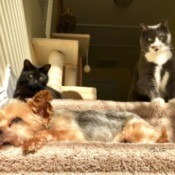 Caesar (Yorkshire Terrier) - sleeping on the stairs with two cats in the background