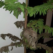 Norfolk Pine Is Dying - lower branches turning brown