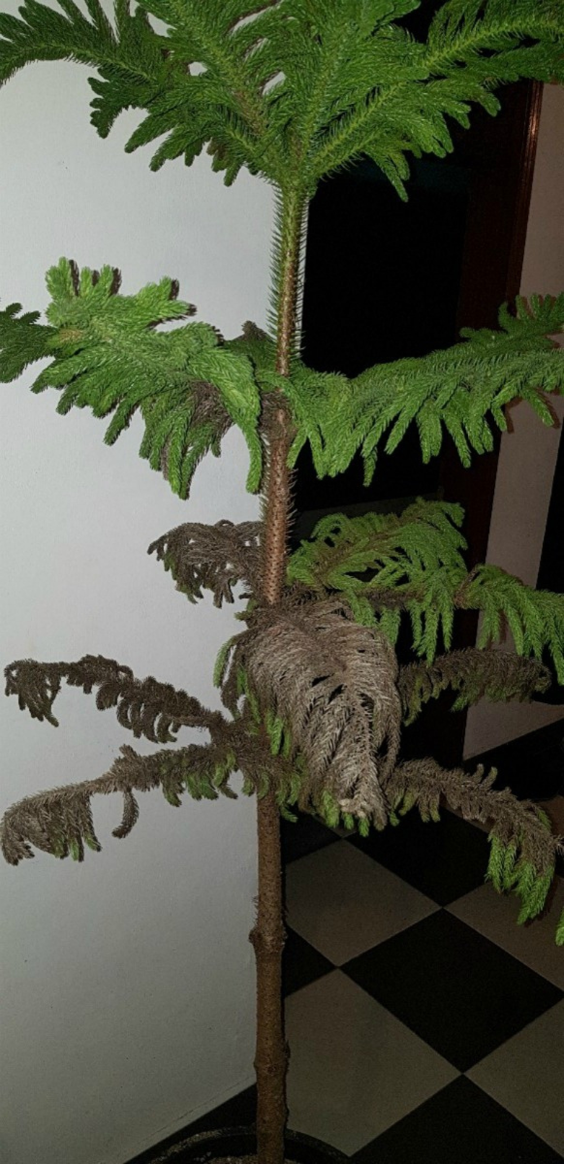 Norfolk Pine Needles Turning Brown | ThriftyFun on easter lily plant care, tulip plant care, asparagus fern plant care, marble queen plant care, maidenhair fern plant care, dragon tree plant care, confederate rose plant care, flowers plant care, areca palm plant care, chinese evergreen plant care, mango plant care, morning glory plant care, weeping fig plant care, boston fern plant care, jasmine plant care, trumpet vine plant care, boxwood plant care, african violet plant care, creeping fig plant care, paradise palm plant care,