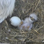 A newborn Bald Eagle chick next to an unhatched egg.