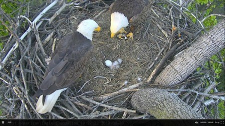 A bald eagle nest with two parents, a chick and an unhatched egg.