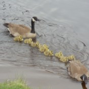 Out for a Swim (Canada Geese) - 2 adult geese swimming with their babies in the river
