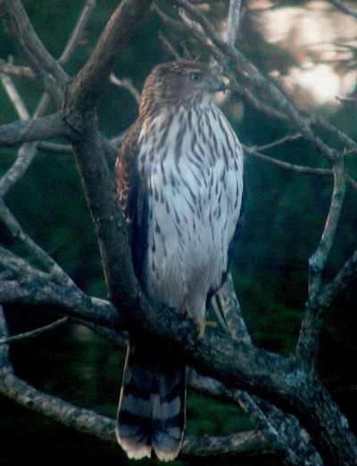 A hawk sitting in tree branches.