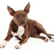 Pit Bull mix with big ears.