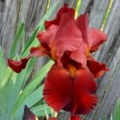 My First Iris 2018 - copper red iris bloom