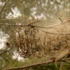 Eastern Tent Caterpillars in a tree